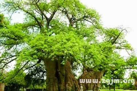 梦见树 树林
