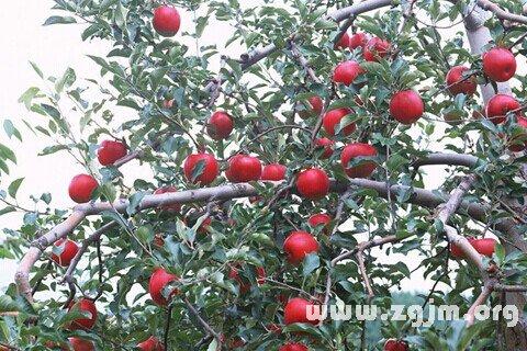 梦见苹果树