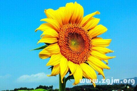 梦见向日葵