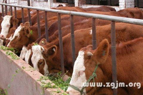 梦见牛栅栏