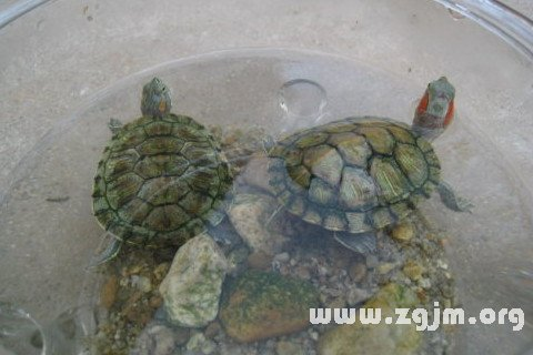 乌龟在水里游