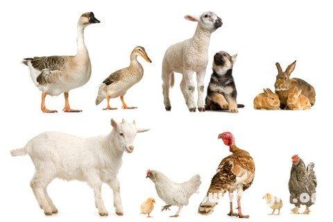 梦见家禽 自己养的动物