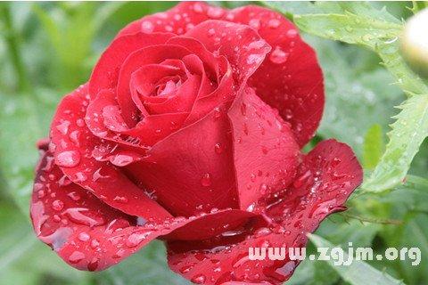 梦见玫瑰花开