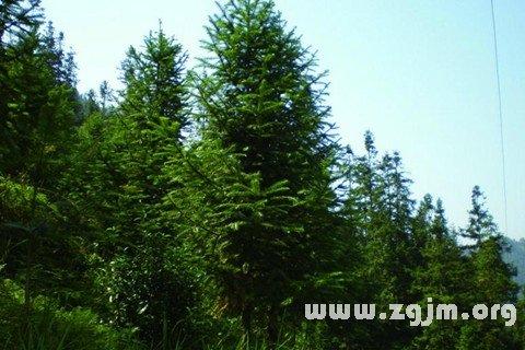 梦见杉树 杉木树