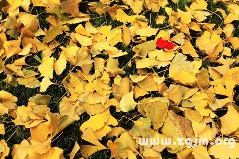 銀杏樹葉散落滿地