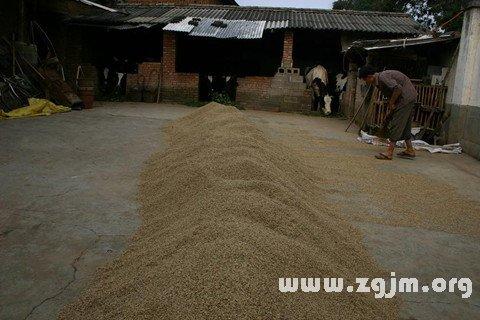 梦见稻米堆