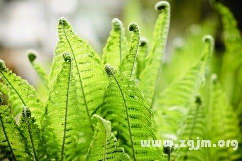 梦见蕨类植物