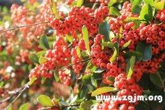 很多树结出红色的果实