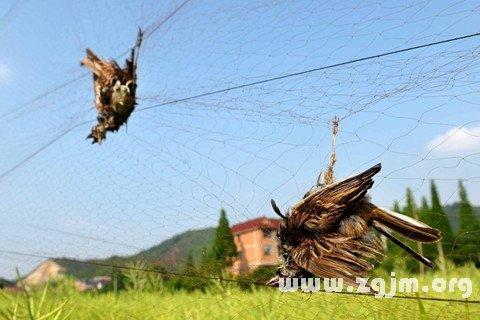 梦见抓鸟 捉鸟 捕鸟