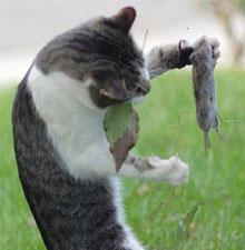 梦见捉到老鼠