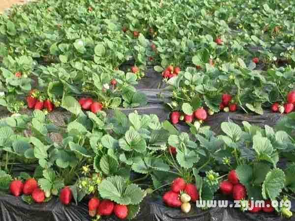 梦见种草莓