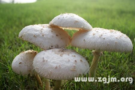梦见采白蘑菇