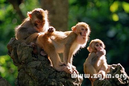 梦见被猴子追