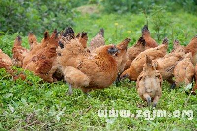 梦见一群鸡