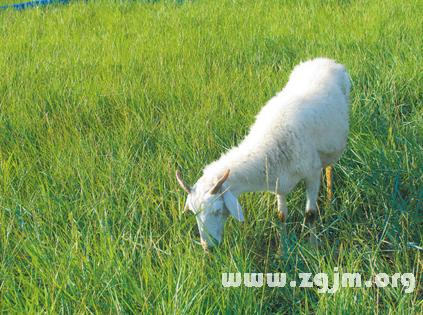 梦见羊吃草