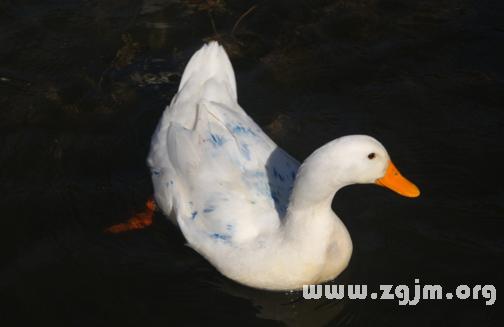 梦见白鸭子