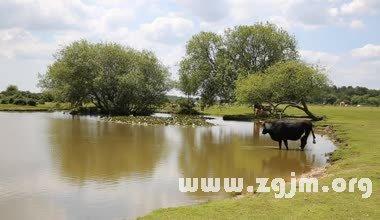 梦见牛在水里