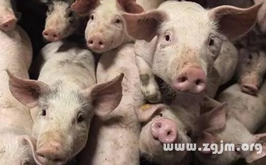 梦见猪说话