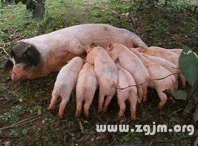 梦见一群猪
