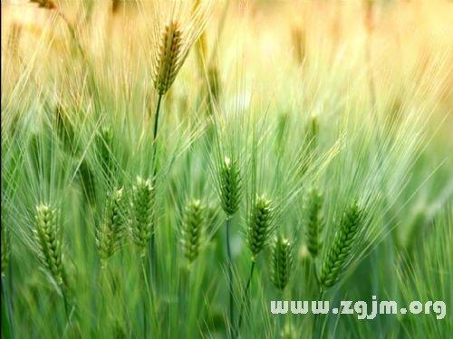 梦见种小麦