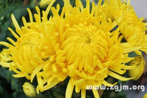 梦见黄色菊花