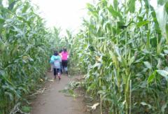 大片玉米地