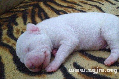 梦见一只小白猪