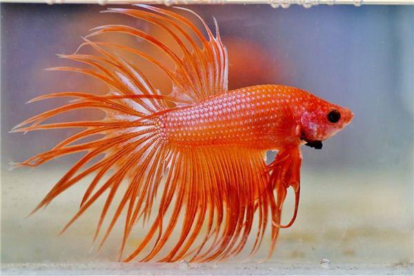 孕妇梦见红色的鱼